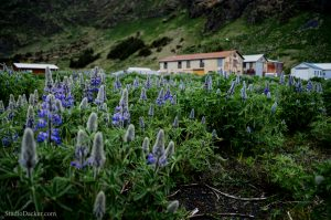 Vik Islande Angelica Archangelica