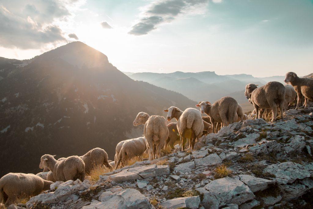 Photographie de brebis au couché du soleil dans les montagnes du Vercors