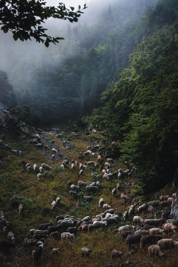 Photographie de brebis au levé du soleil dans les montagnes du Vercors