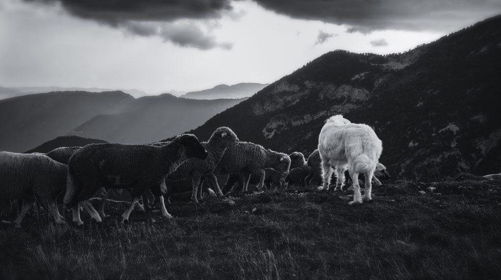 Photographie noir et blanc de brebis et patou sur les  montagnes du Vercors